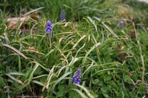 grape hyacinth and hyacinth