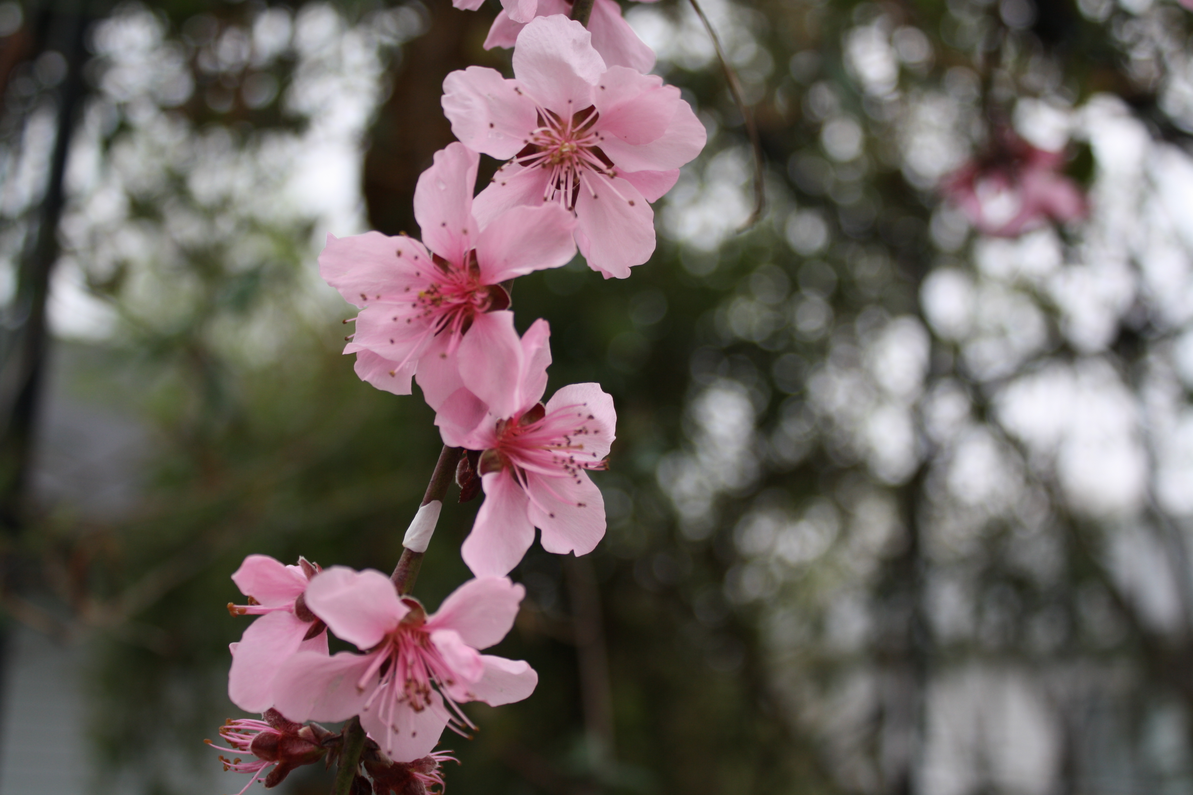 Flowering Peach And Plum Trees Donna 39 S Garden
