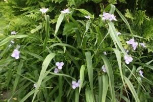 spiderwort13 003